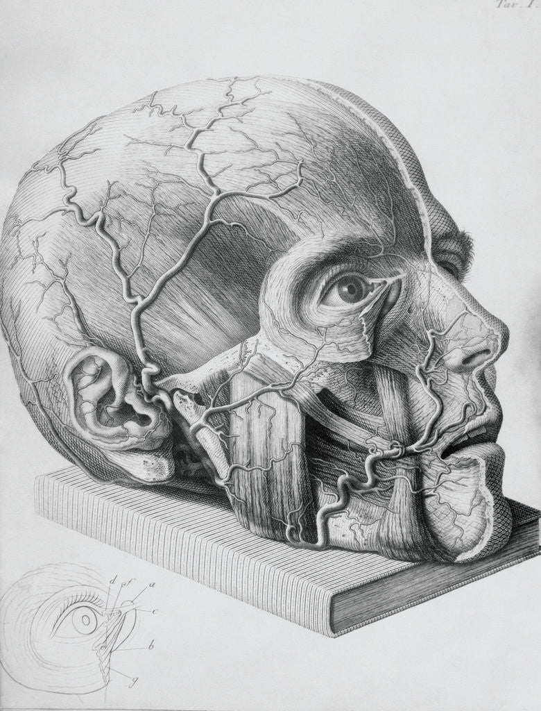 Detail of Illustration of Dissected Head by Corbis