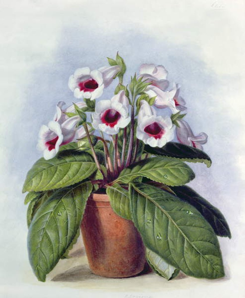 Detail of Gloxinia in a pot, c.1860 by Augusta Innes Withers