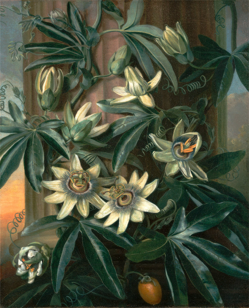 Detail of Blue Passion Flower, for the 'Temple of Flora' by Robert Thornton by Philip Reinagle