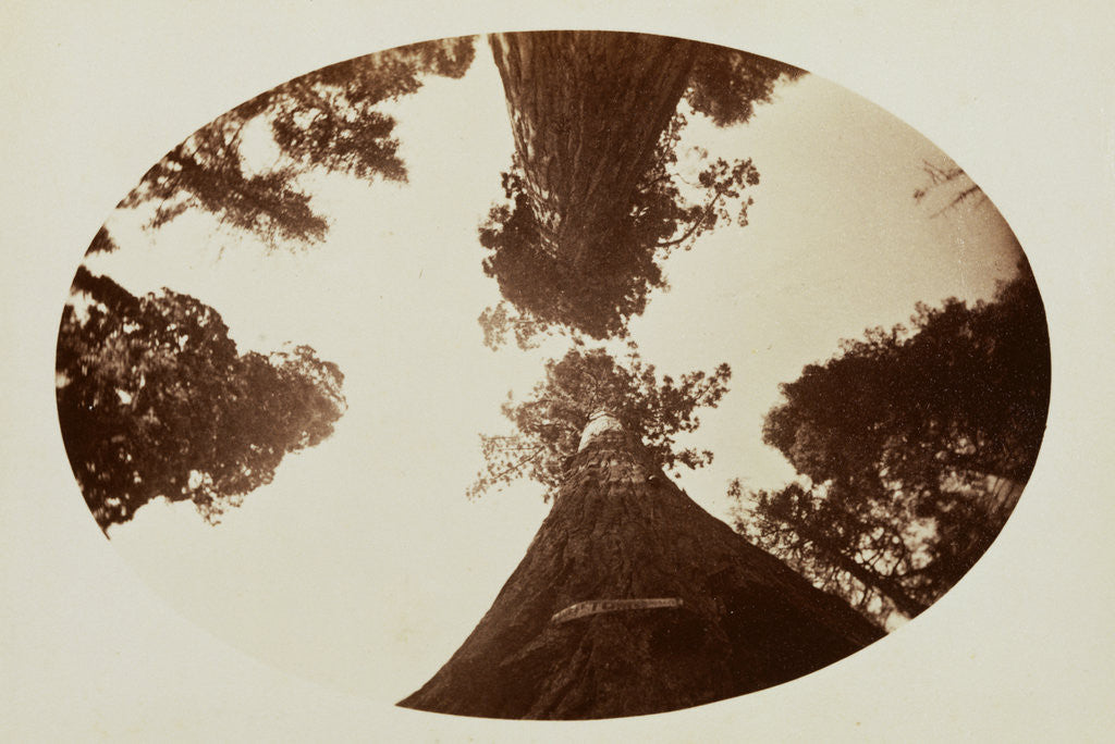 Detail of Among the Treetops, Calaveras Grove by Carleton Watkins