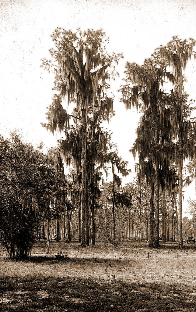 Detail of Florida pines, Jackson, Pines, Spanish moss, United States, Florida, 1880 by William Henry