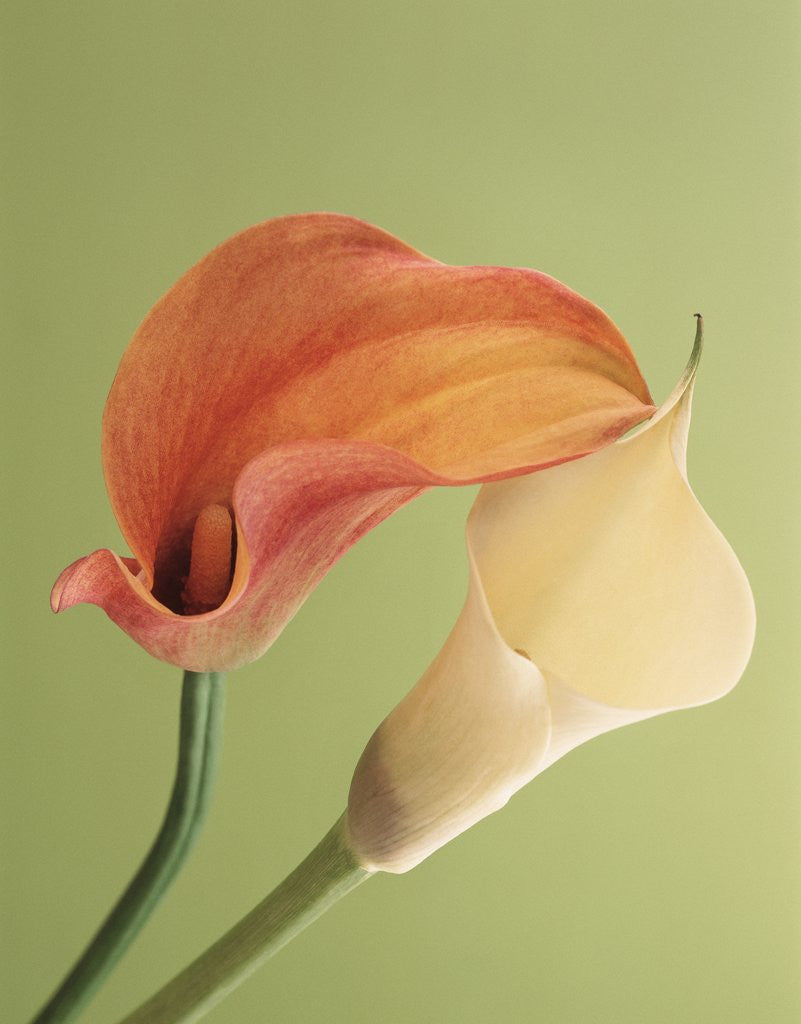 Detail of Blooming Lilies by Corbis