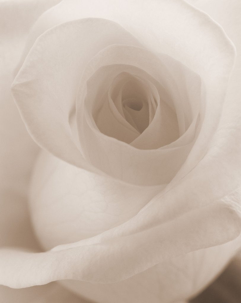 Detail of Blooming White Rose by Corbis