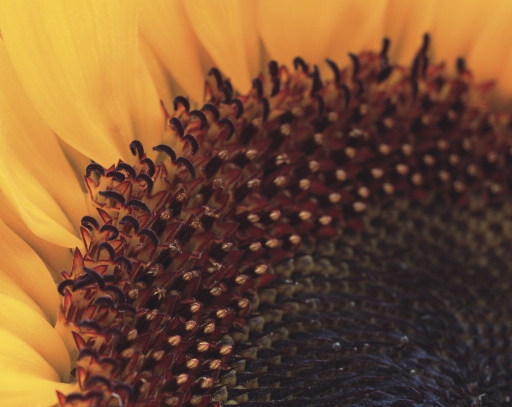 Detail of Sunflower Sepals by Corbis