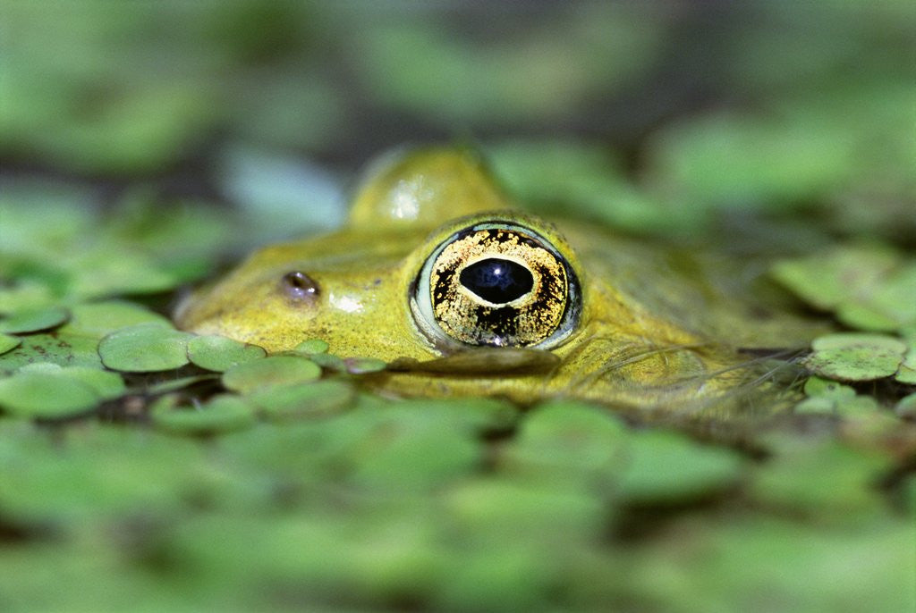 Detail of Edible Frog by Corbis