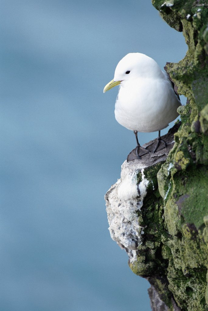 Detail of Black-Legged Kittiwake by Corbis