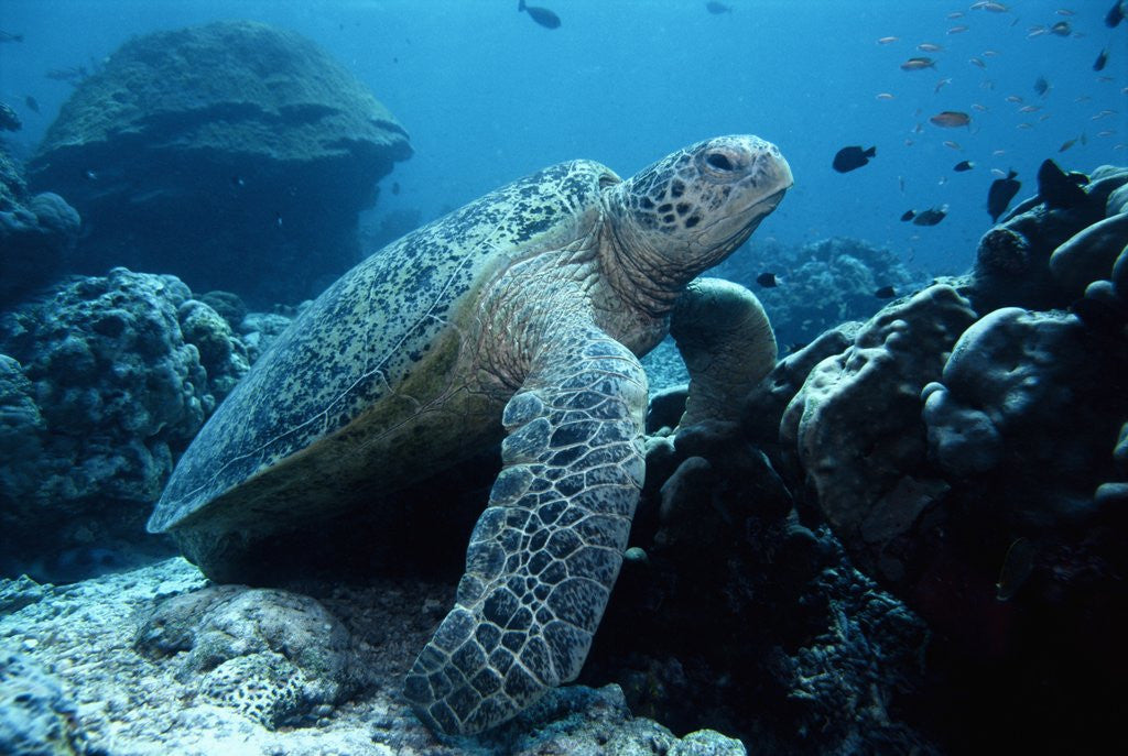 Detail of Green Sea Turtle by Corbis
