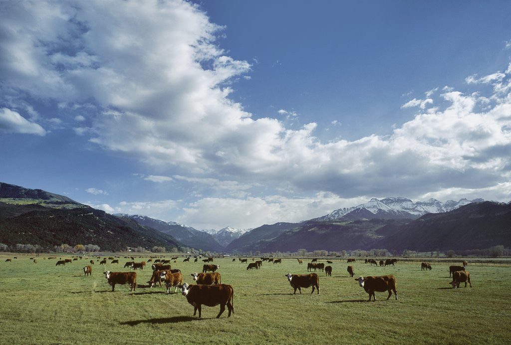 Cattle grazing on farmland by Corbis