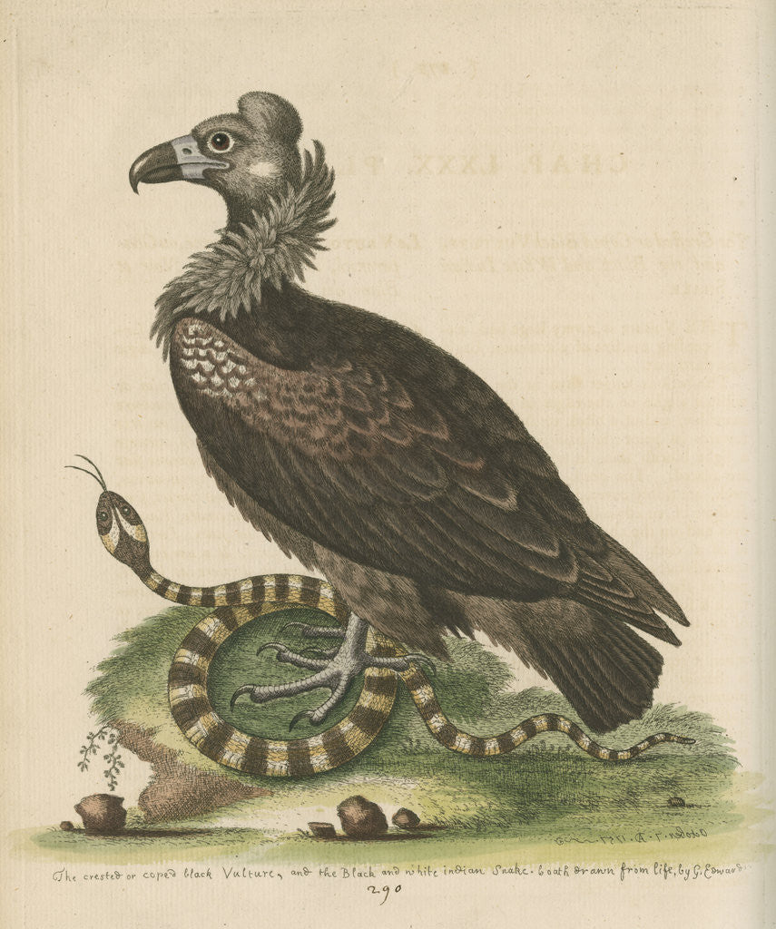 Detail of 'Crested or Coped Black Vulture, and the Black and White Indian Snake' by George Edwards