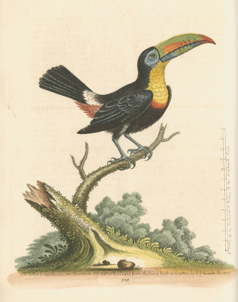 Detail of 'The Yellow-breasted Toucan' by George Edwards