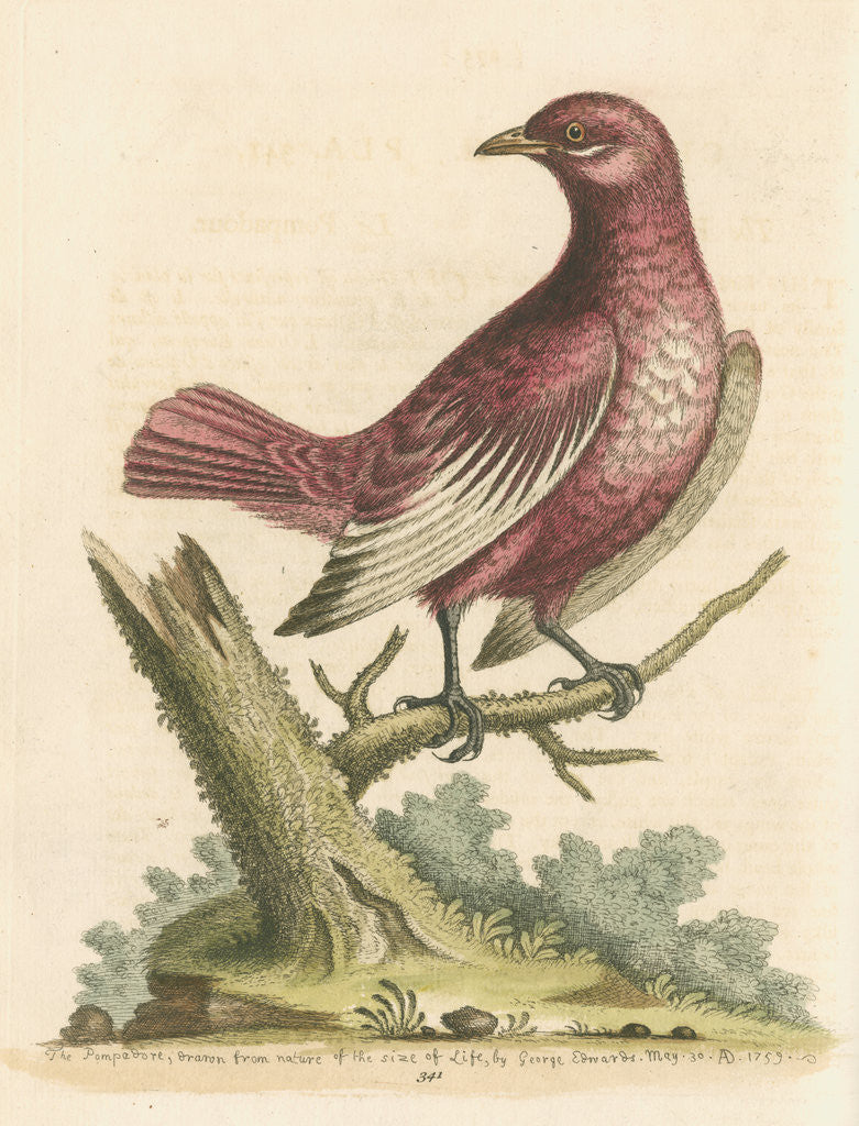 Detail of 'The Pompadour [Pompadour cotinga]' by George Edwards