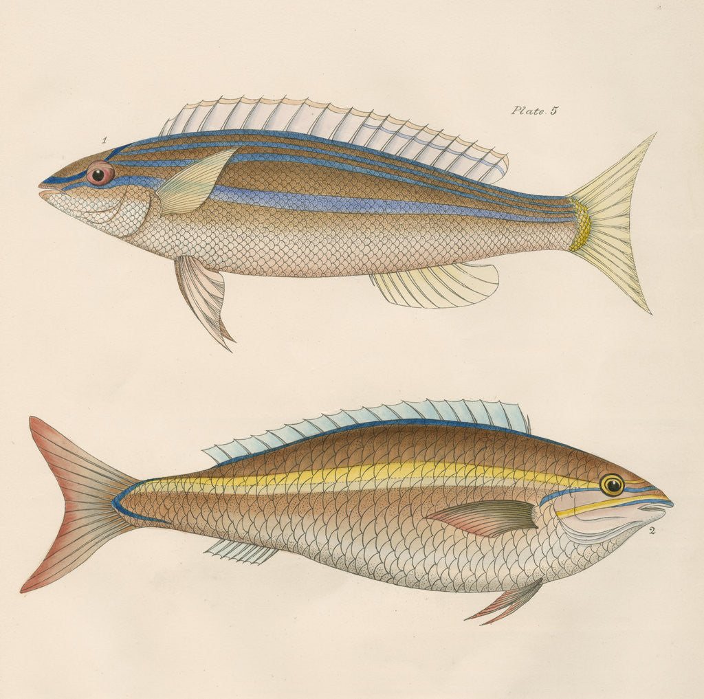 Detail of Studies of two fishes from Australia by Anonymous