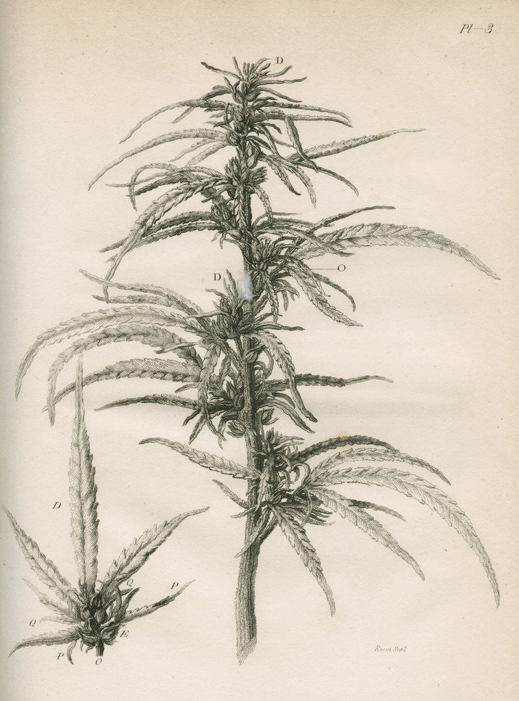 Detail of Female hemp plant by Richard Reeve