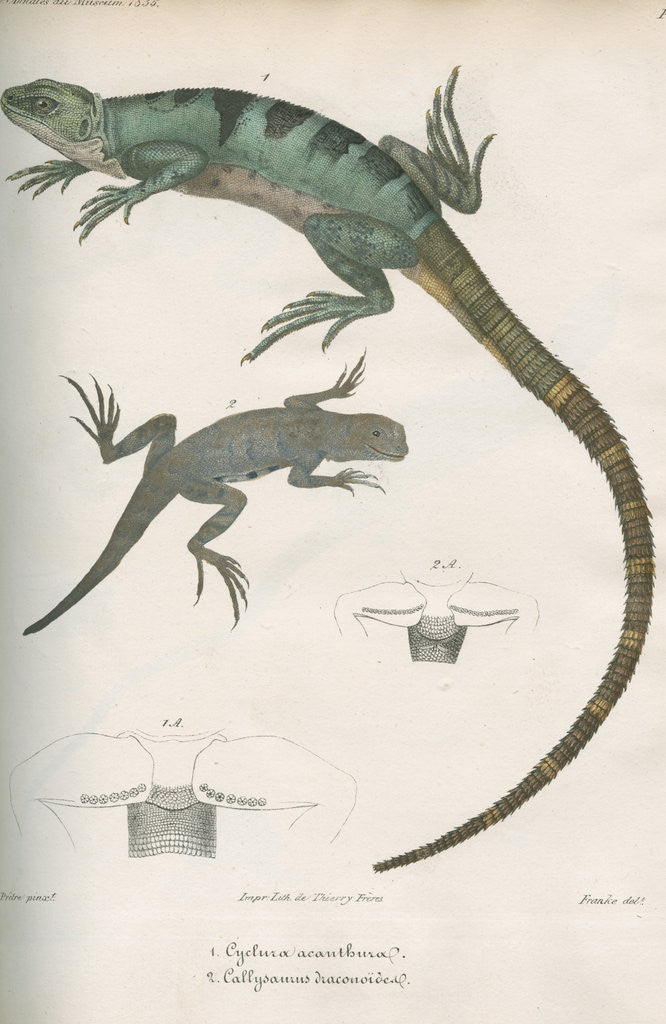 Detail of Two lizards of North America by Franke