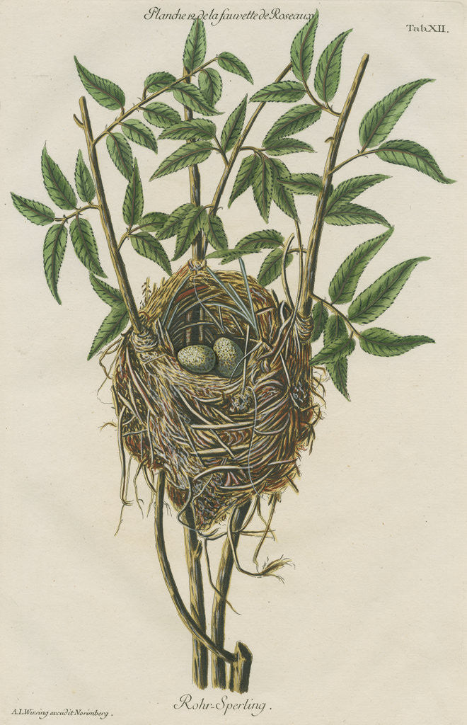 Detail of Nest of the Reed warbler by Adam Ludwig Wirsing