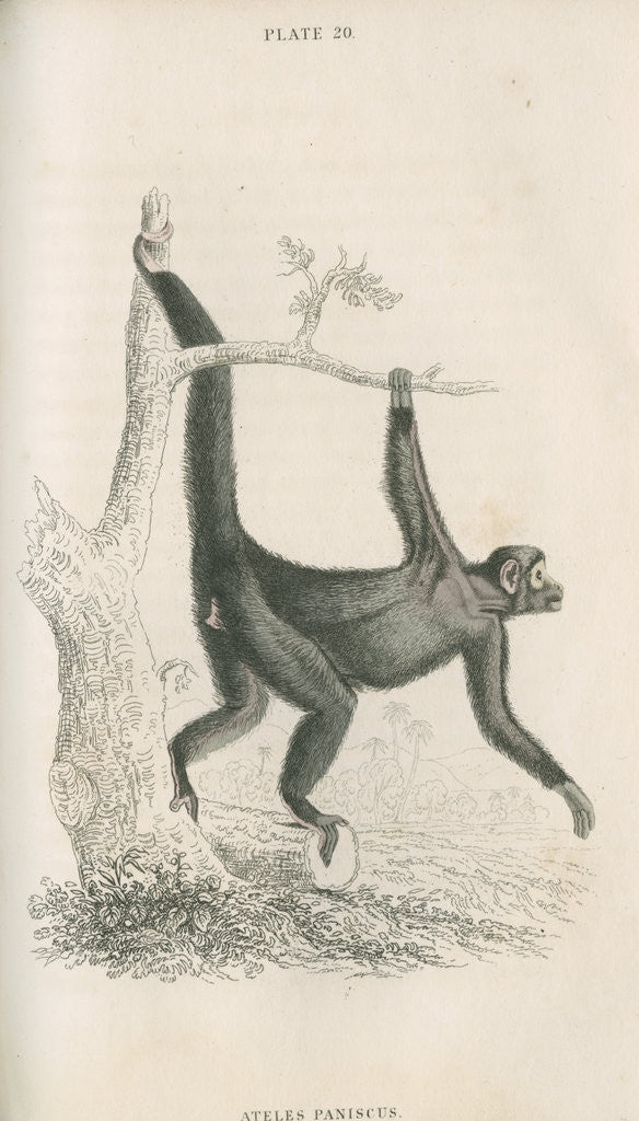 Detail of 'Ateles paniscus' [Spider monkey] by William Home Lizars