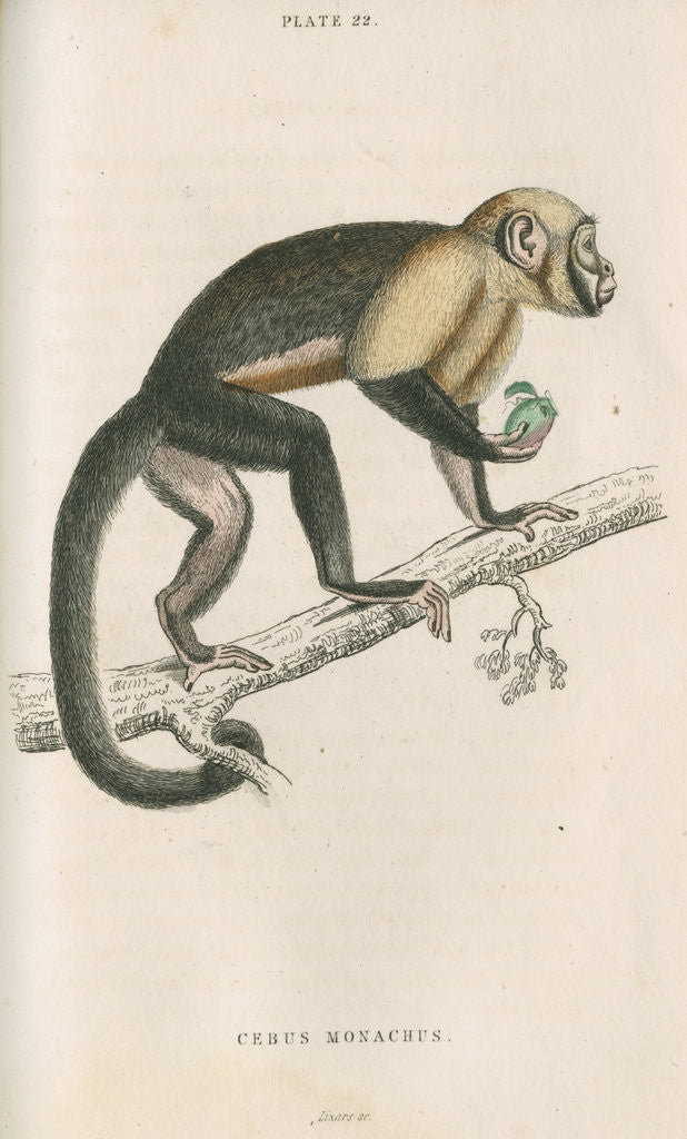 Detail of 'Cebus monachus' [Large headed capuchin] by William Home Lizars