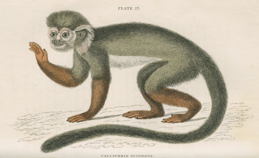 Detail of 'Callithrix sciureus' [Common squirrel monkey] by William Home Lizars