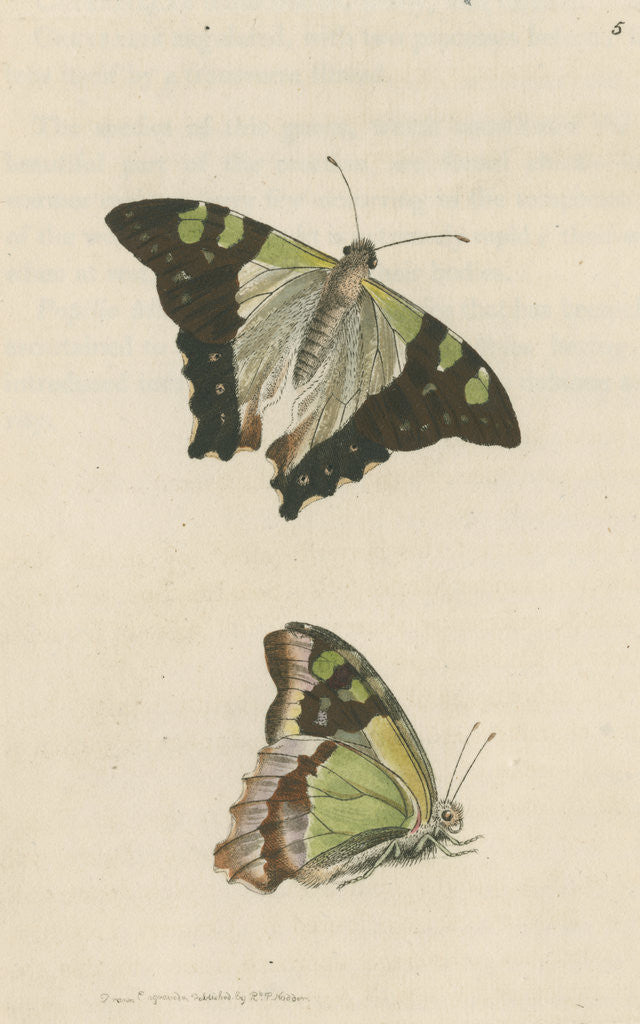 Detail of 'Macleay's butterfly' [Macleay's swallowtail] by Richard Polydore Nodder