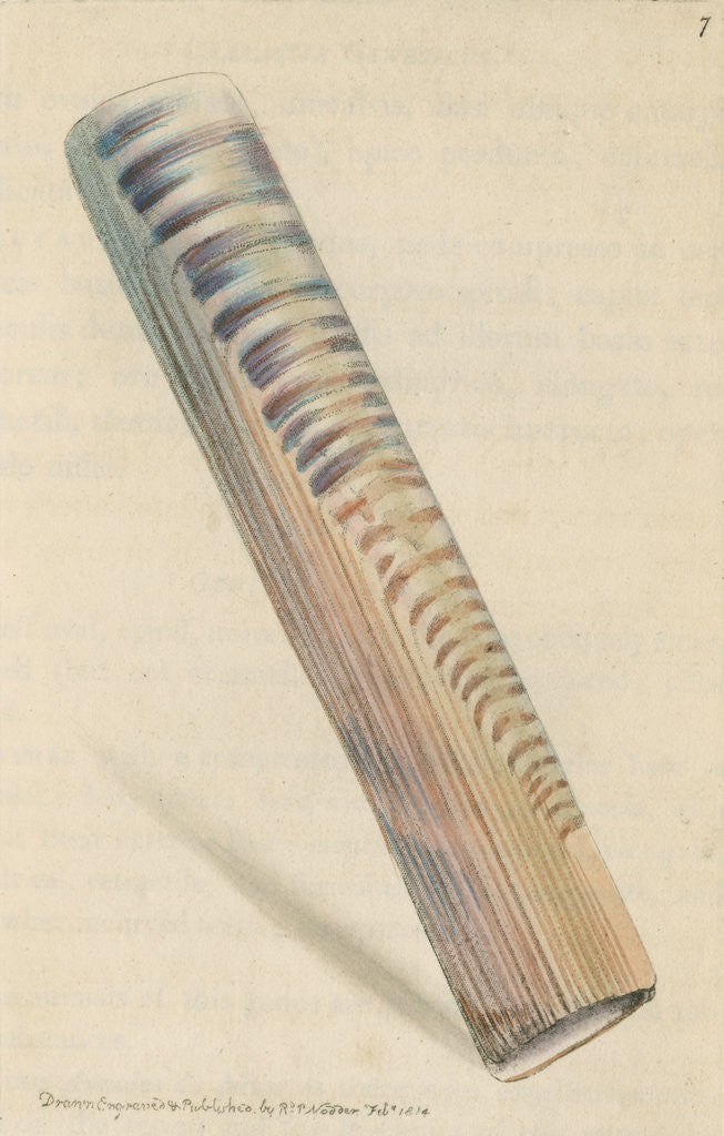 Detail of 'Ceylon razor-shell' by Richard Polydore Nodder