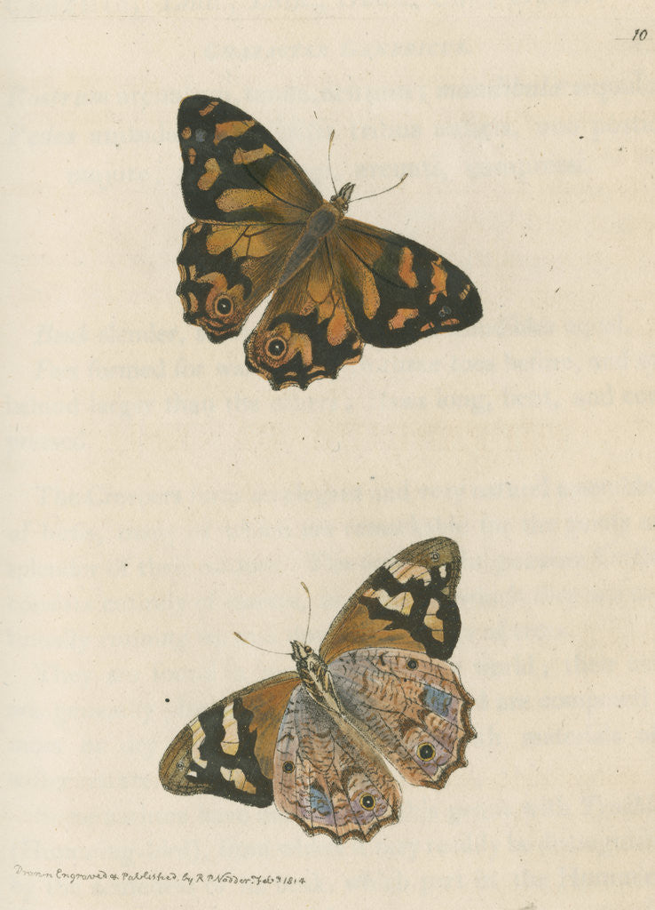Detail of 'Banksian hipparchia' [Banks's brown butterfly] by Richard Polydore Nodder
