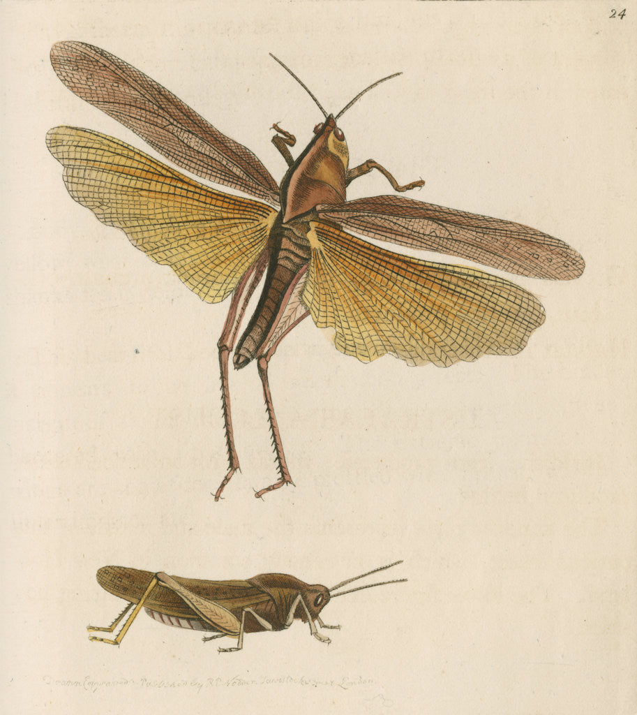 Detail of 'Australian locust' [Gumleaf grasshopper] by Richard Polydore Nodder