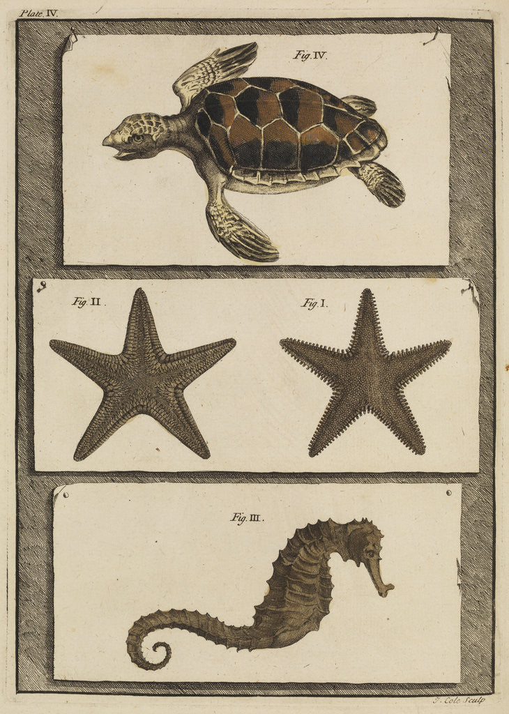 Detail of Three specimens of marine life by T Cole