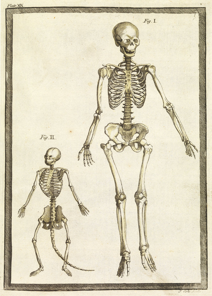 Detail of Human and monkey skeletons by T Cole