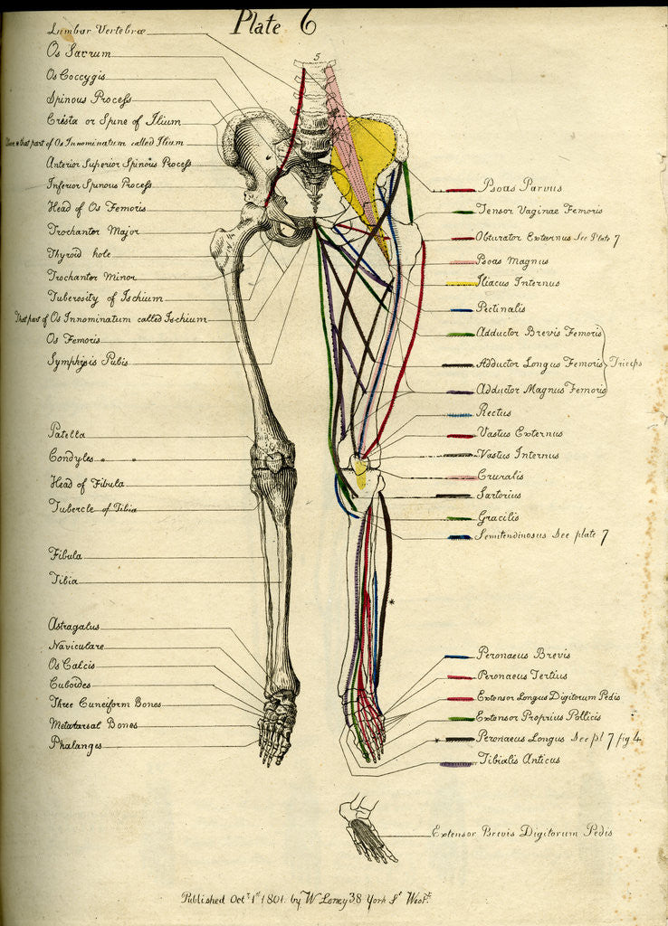 Detail of Muscle distribution of the lower body (front) by Joseph Constantine Carpue