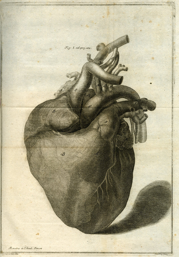 Detail of The human heart by Sauerbrey