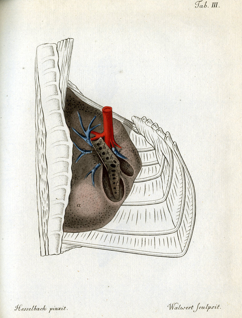 Detail of Lungs and pulmonary artery by Walwert
