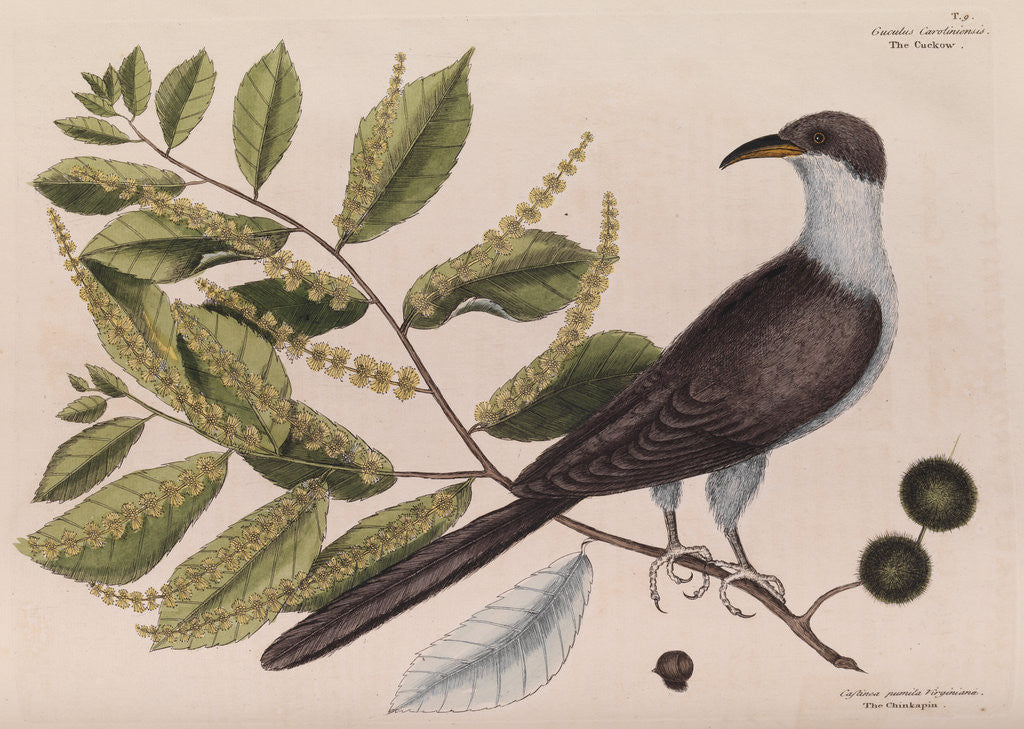 Detail of The 'cuckow of Carolina and the chinkapin' by Mark Catesby