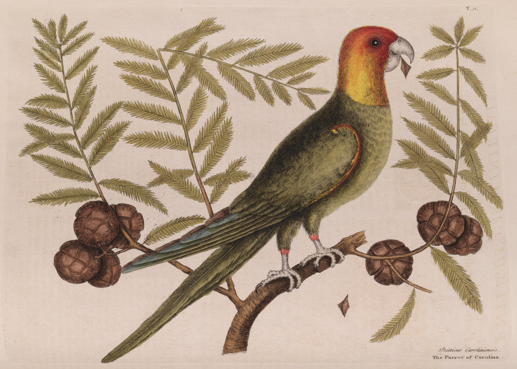 Detail of The parrot of Carolina and the cypress of America by Mark Catesby