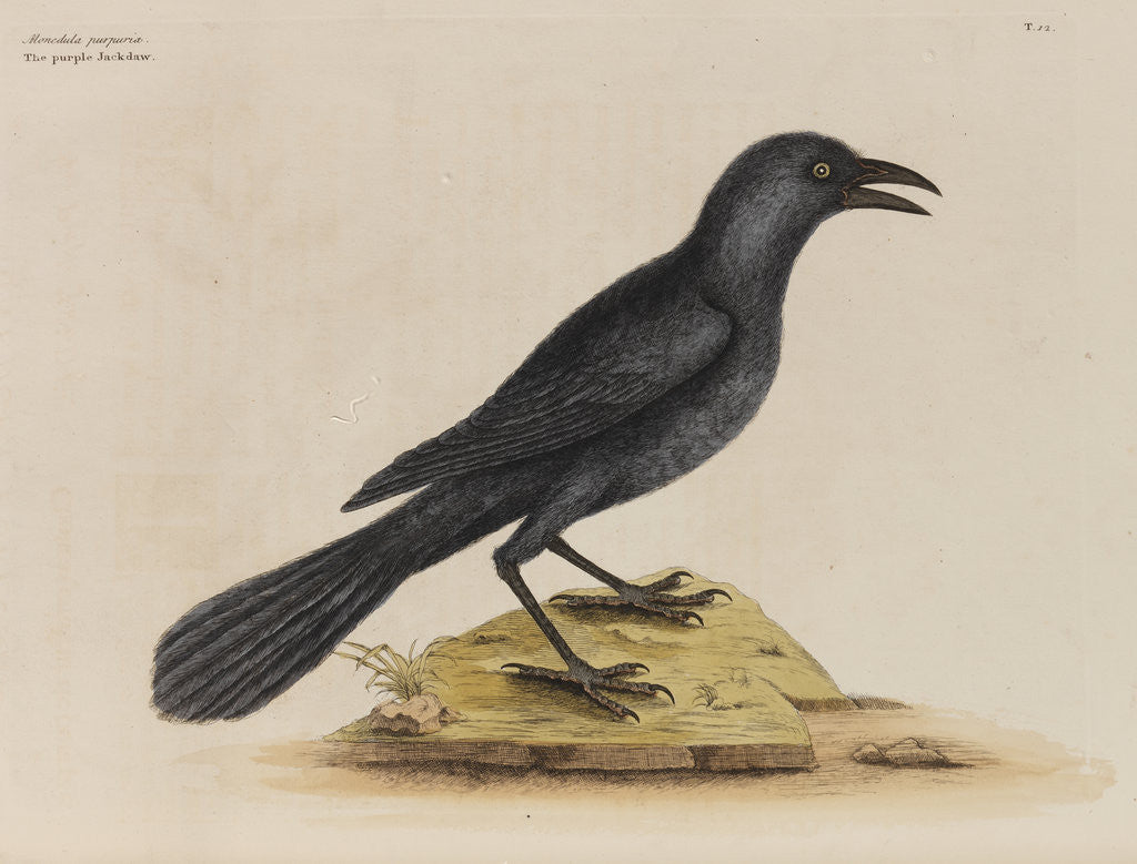 Detail of 'The purple jack-daw' by Mark Catesby