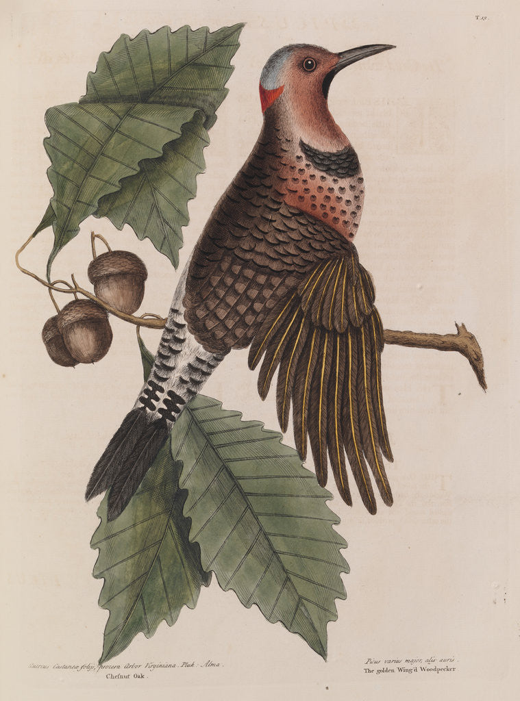 Detail of The 'gold-winged wood-pecker' and the 'chesnut-oak' by Mark Catesby