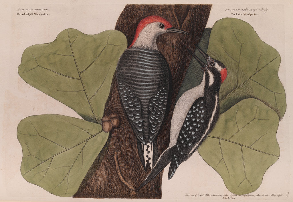 Detail of The 'red-bellied wood-pecker', the 'hairy wood-pecker' and the 'black oak' by Mark Catesby