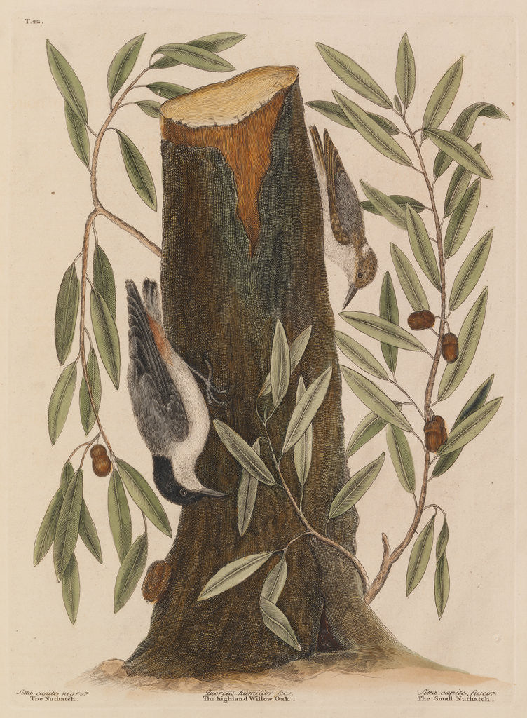 Detail of The 'nuthatch', the 'small nuthatch' and the 'highland willow oak' by Mark Catesby