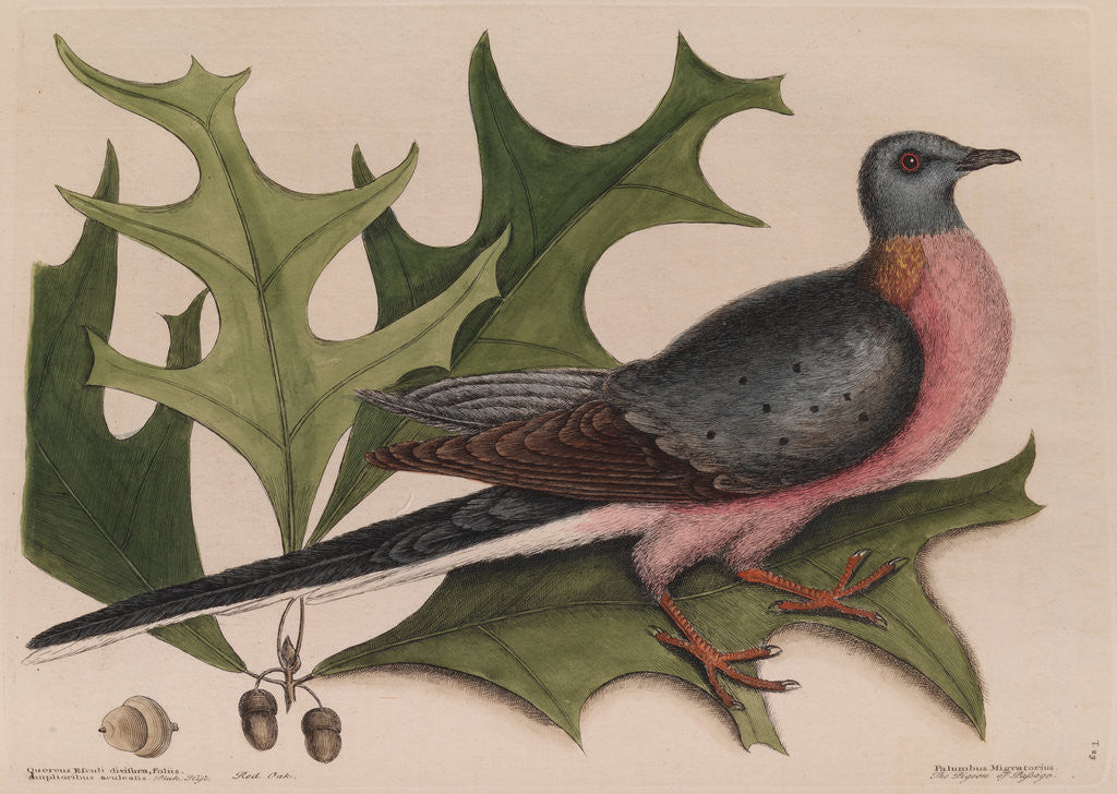 Detail of The 'pigeon of passage' and the 'red oak' by Mark Catesby