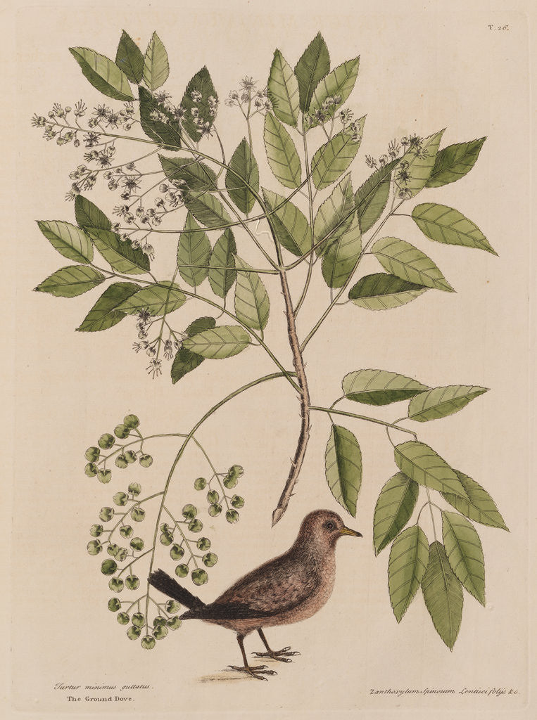 The ground-dove and the pellitory, or tooth-ach tree by Mark Catesby