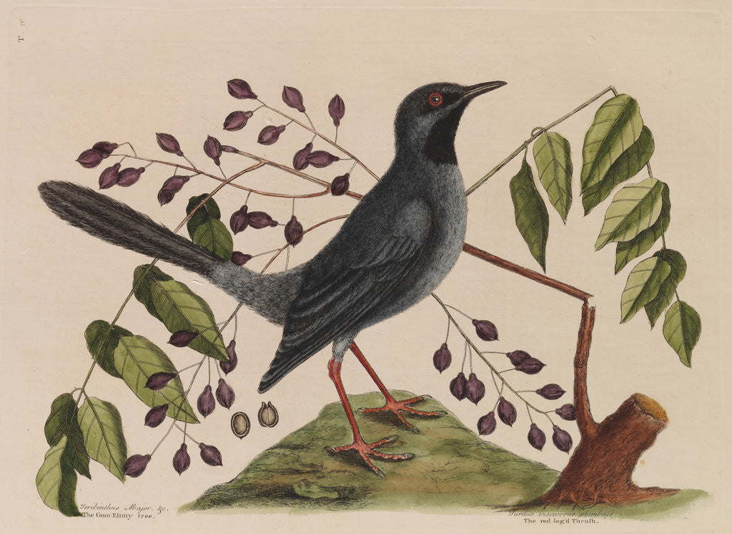 Detail of The 'red leg'd thrush' and the 'gum-elimy tree' by Mark Catesby