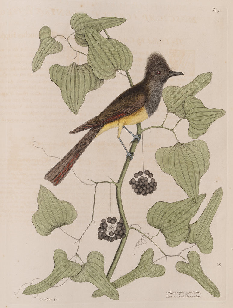Detail of The 'crested fly-catcher' and the 'Smilax bryoniae' by Mark Catesby