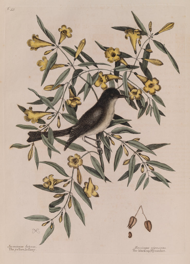 Detail of The 'blackcap fly-catcher' and the 'yellow jessamy' by Mark Catesby