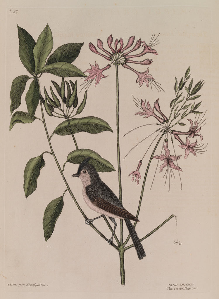 Detail of The 'crested titmouse' and the 'upright honysuckle' by Mark Catesby