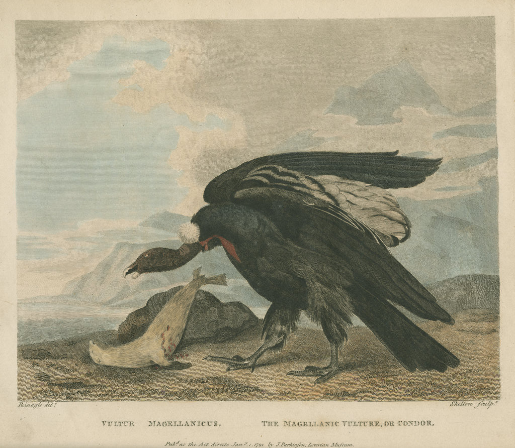 Detail of 'The Magellanic Vulture, or Condor' by William Skelton