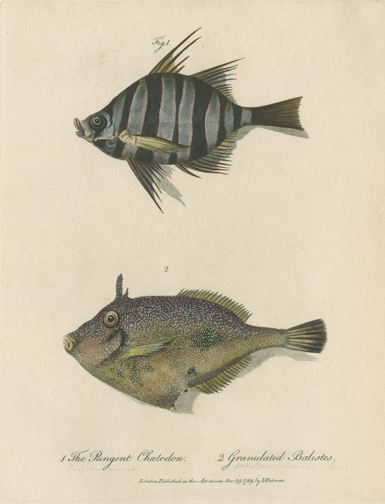 Detail of Studies of two fishes by Sarah Stone
