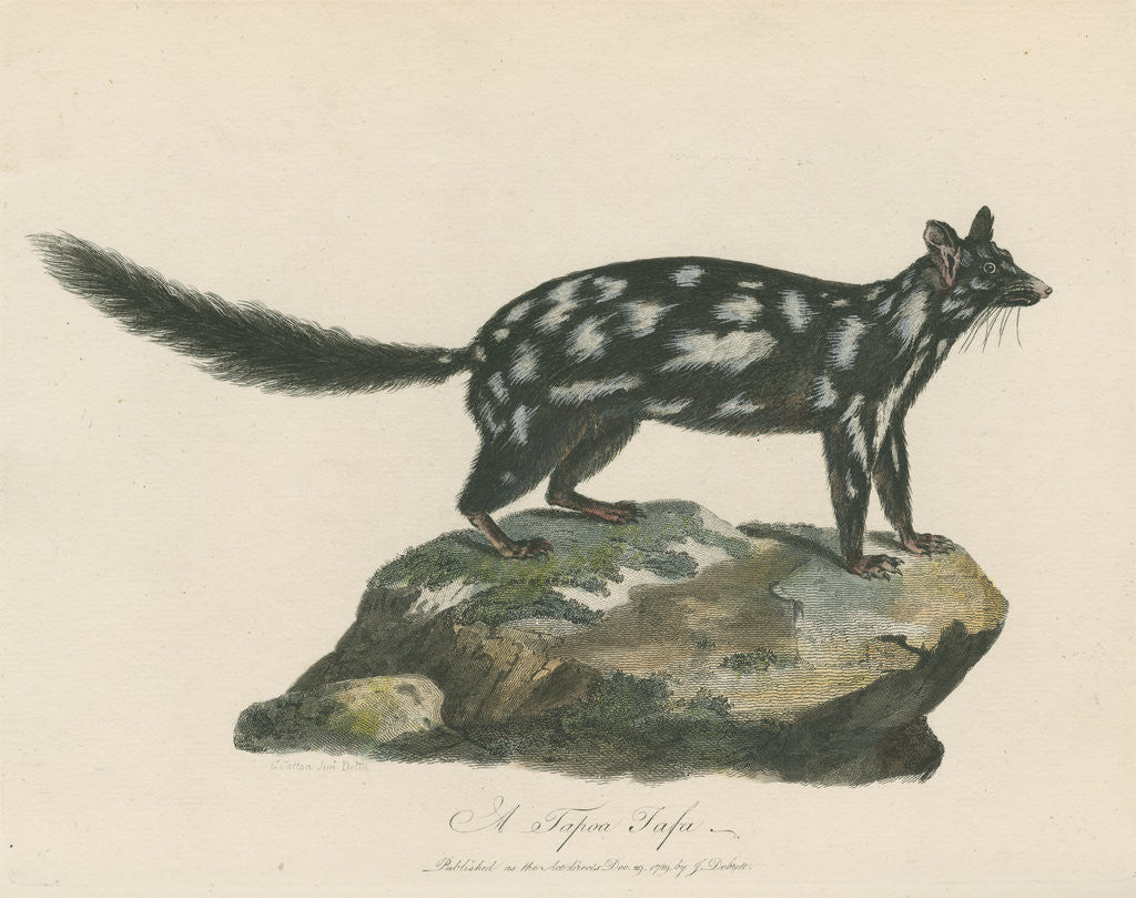 Detail of A Tapoa Tafa (Eastern quoll) by Charles Catton the younger