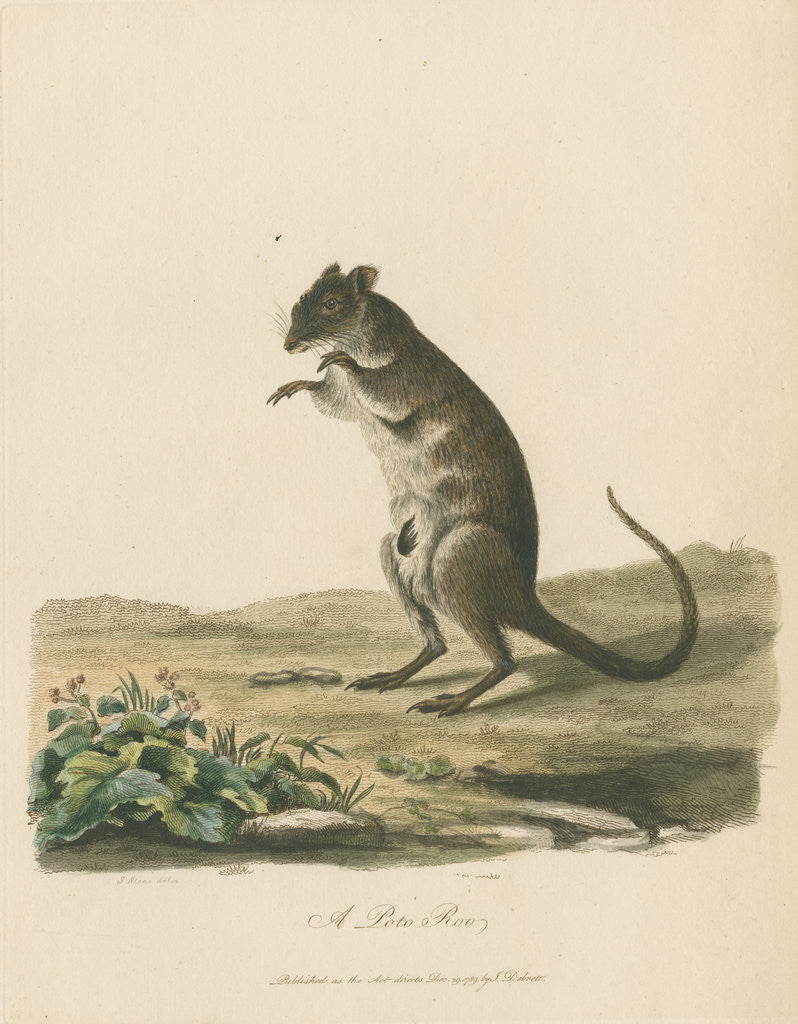 Detail of A Poto Roo by Sarah Stone
