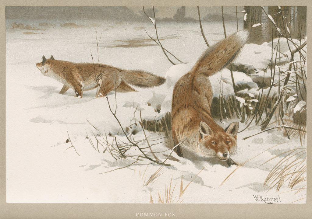 Detail of 'Common Fox' by Frederick Warne & Company