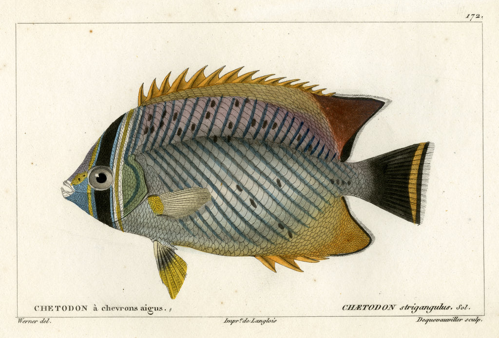 Detail of Chevron butterflyfish by François Jacques Dequevauviller