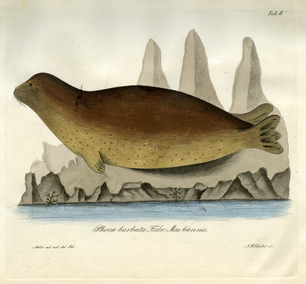 Detail of Bearded seal by Johann Friedrich Schröter